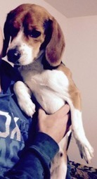 """HAPPY ENDING: Home, Safe n' Sound: Found: Roaming Dog: Noel, Hants Co., NS — Beagle, Male, Young Adult — """"Unknown""""   Nova Scotia Hunting   Scoop.it"""
