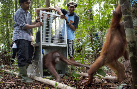 Orangutans Rescued From Indonesian Forest Fires Released Back Into Wild | Jakarta Globe | Conservation Success | Scoop.it