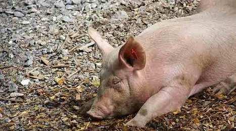 Filière porcine : la France suspend les importations en provenance des États-Unis - Agro Media | Actualité de l'Industrie Agroalimentaire | agro-media.fr | Scoop.it