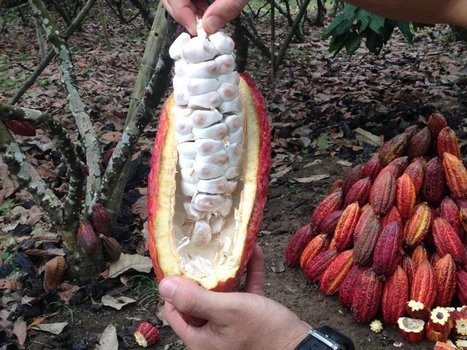 Is cocoa still cursed? | Agricultural Biodiversity | Scoop.it