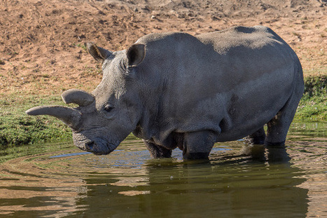 Another Northern White Rhino Dies, Only 5 Remain | Naturalist Education | Scoop.it