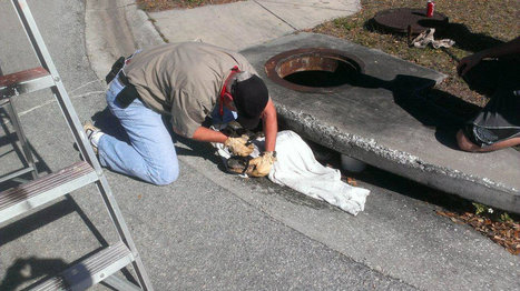 Florida Problems: Law enforcement officials free gator stuck in storm drain near elementary school | The Billy Pulpit | Scoop.it