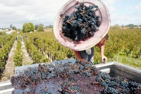 Vendanges : de faibles volumes annoncés | Agriculture en Gironde | Scoop.it