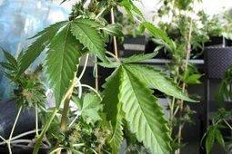 'Wprost' i 'Newsweek' ostrzegają przed marihuaną. Zwolennicy legalizacji: 'Liczba kłamstw skandaliczna' | NARKOTYKI | Scoop.it
