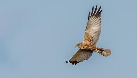 Arrageois : la Ligue de protection des oiseaux s'alarme des rapaces abattus | J'écris mon premier roman | Scoop.it
