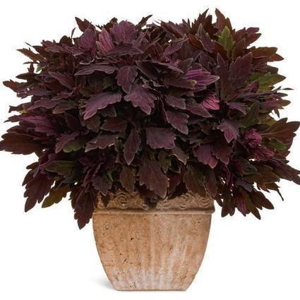 Proven Winners   ColorBlaze® Marooned™ - Coleus - Solenostemon scutellarioides   Annie Haven   Haven Brand   Scoop.it