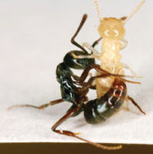[Ant Control Issue] March of the Asian Needle Ant - PCT - Pest Control Technology | Research from the NC Agricultural Research Service | Scoop.it