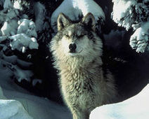Petition: Don't Let Big Industry Gut the Endangered Species Act | wildlife | Scoop.it