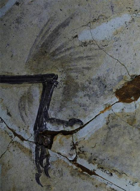 Four-winged birds? First fossils identified - NBCNews.com (blog) | SJC Science | Scoop.it