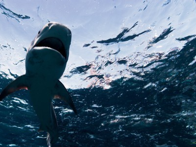 Um, Seriously? Fisherman Hired to Kill 20 Sharks After Attacks | The Wild Planet | Scoop.it