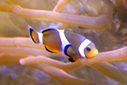 98% of marine fish headed for the aquarium trade die within a year in the Philippines   saltwater   Scoop.it