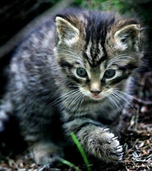 Scottish wildcat could be extinct 'within two years' | sceptic | Scoop.it