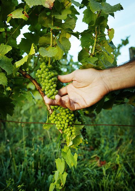 Et ils changèrent le vin en vert | Le vin quotidien | Scoop.it