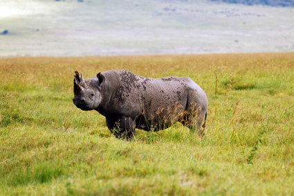 Wanted: Asian Voice for the Endangered Rhino | What's Happening to Africa's Rhino? | Scoop.it