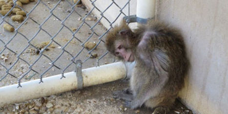 Petition: PPI Florida Monkey Farm Should Be Shut Down Immediately | ~Environment,wildlife,children,human rights and global issues~ | Scoop.it