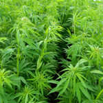 The Daily Bell - Monsanto Marijuana Initiative Grows in Uruguay? | Coffee Party News | Scoop.it