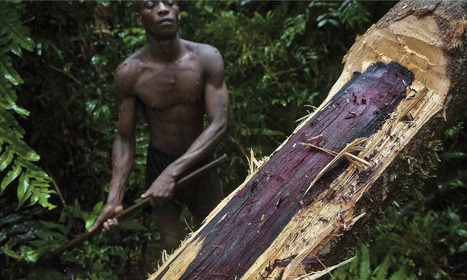 Madagascar's forests vanish to feed taste for rosewood in west and China | Silviculture and Forest News | Scoop.it