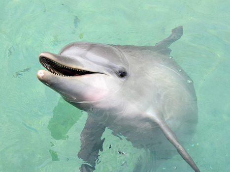 Dolphins may look like they are smiling. But they're not. | Earth Island Institute Philippines | Scoop.it
