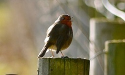 A Beau Geste of robins | Nature Flash | Scoop.it