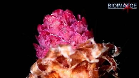 Las flores de los pinos. - YouTube | La Chavalería | Scoop.it