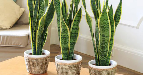5 Plants For Your Bedroom To Help You Sleep Better | Radiant Health | Scoop.it