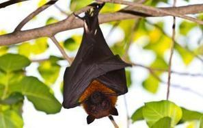 Feds Consider West Virginia Wind Farm Permit to Kill Endangered Bats | Heartlander Magazine | Bat Biology and Ecology | Scoop.it