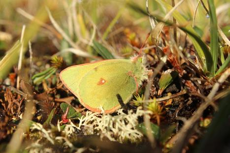 Le réchauffement climatique rétrécit les papillons du Groenland | EntomoNews | Scoop.it
