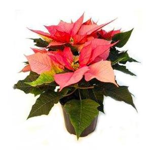 La Ponsètia, l'estrella de Nadal | | What's your plant | Garden center online i tenda de jardineria online | EL RACÓ DE LA JARDINERIA | Scoop.it