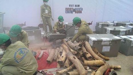 Vietnam destroys huge ivory, rhino horn cache | Endangered Species News | Scoop.it