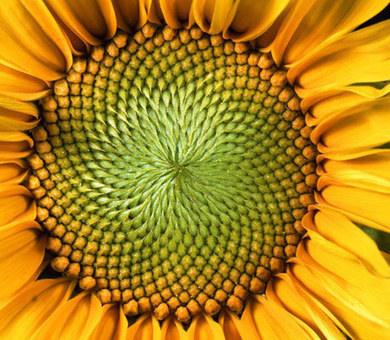ScienceShot: Sunflowers Do the Math | Agua | Scoop.it