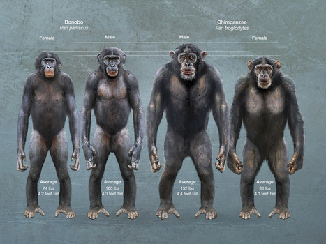 Oh Creation! Interbreeding Chimps and Bonobos! | Atheism and Science | Scoop.it