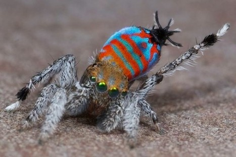 Two Spectacular New Peacock Spiders Discovered in Queensland | Spiders | Scoop.it