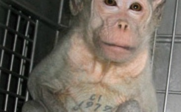 Lab Monkey Left in Cage, Boiled Alive | Earth Island Institute Philippines | Scoop.it