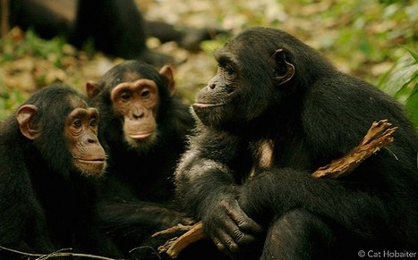 Chimpanzees raised by humans no cleverer - Telegraph | ANIMAL LATITUDE NEWS | Scoop.it