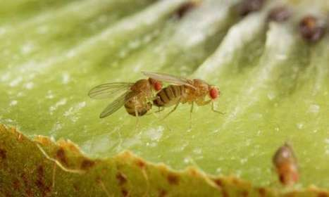 One simple molecule regulates sexual behavior in Drosophila / Une simple molécule régule le comportement sexuel chez la drosophile | EntomoNews | Scoop.it