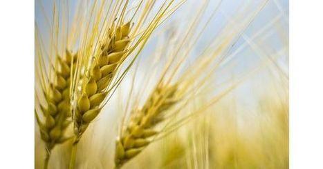 Vers une récolte mondiale de blé record en 2016 | Questions de développement ... | Scoop.it