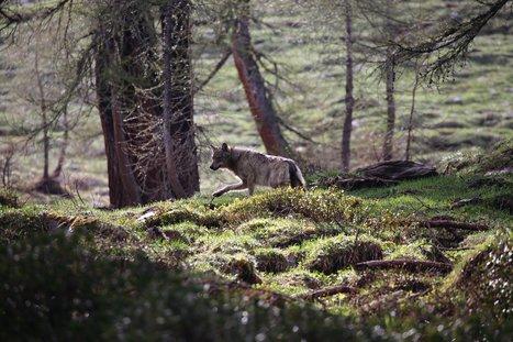 Suisse : A peine nés, les louveteaux du Calanda sont déjà menacés | Biodiversité | Scoop.it