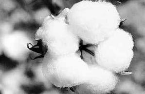 Ancient wisdom boosts sustainability of biotech cotton | Ag Professional | CALS in the News | Scoop.it