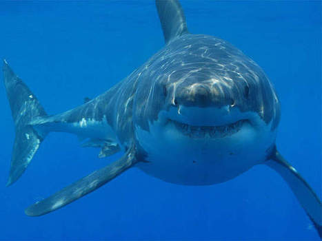 Great whites on the rebound, local sharks gaining fame worldwide - WJCL News | Shark conservation | Scoop.it