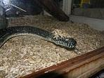 Wigs for snakes... - Aussie Pythons & Snakes | Hair There and Everywhere | Scoop.it