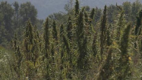 University researching largest industrial hemp field in Virginia | Ecological Organic Yarn | Scoop.it