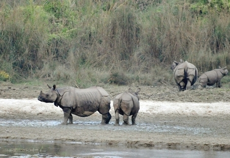 Nepal: Mountain country winning battle against rhino poaching | Wildlife Trafficking: Who Does it? Allows it? | Scoop.it