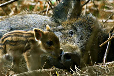 Cameras set up to try to locate wild boar in forestry near Maesteg - Southwales Evening Post | Sustainable Forestry | Scoop.it