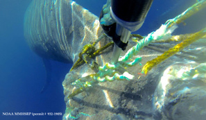 Humpback whale successfully freed from entangled gear | World whale rescue | Scoop.it