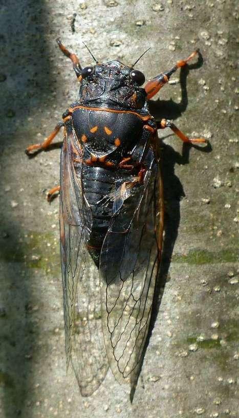 Photos de Cicadidé du Québec : Cigale ridée - Cigale hâtive - Okanagana rimosa - Say's Cicada | Fauna Free Pics - Public Domain - Photos gratuites d'animaux | Scoop.it