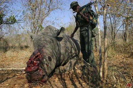 SA's trade plan is 'reckless endangerment of wild rhinos' | What's Happening to Africa's Rhino? | Scoop.it