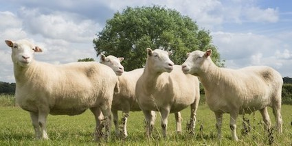 Cloned Sheep Age Normally | The Scientist Magazine® | Longevity science | Scoop.it