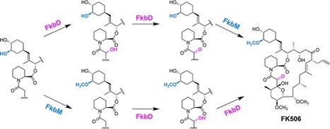 Characterization of FK506 Biosynthetic Intermediates Involved in Post-PKS Elaboration | BiotoposChemEng | Scoop.it