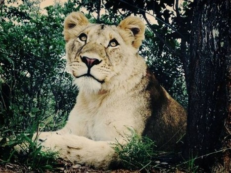 """Saving Serabie: How a Volunteer Rescued """"Her"""" Lion From Canned Hunting 