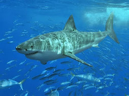 Fewer than 1,000 Great White sharks remain in South Africa | Indigo Scuba | Scoop.it